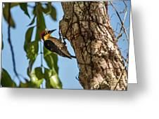 Yellow-fronted Woodpecker  Melanerpes Greeting Card
