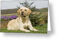Yellow Labrador Greeting Card