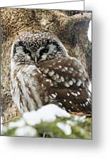 Boreal Owl Pictures Greeting Card