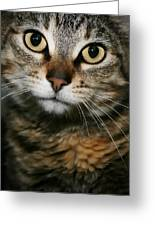 Brown Tabby Greeting Card