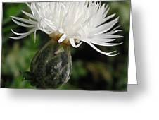 Centaurea Named The Bride Greeting Card