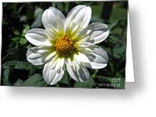 Dahlia Named Alpen Cherub Greeting Card