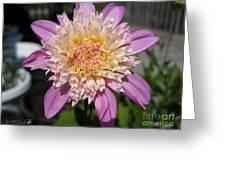 Dahlia Named Siemen Doorenbosch Greeting Card