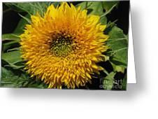Dwarf Sunflower Named Teddy Bear Greeting Card