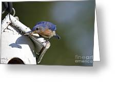 Eastern Bluebird Greeting Card by Linda Freshwaters Arndt