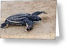 Leatherback Sea Turtle Hatchling Amelia Island Florida Greeting Card