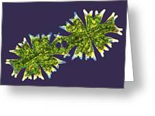Micrasterias Desmids, Light Micrograph Greeting Card