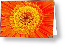 Orange Gerber Greeting Card