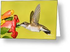Ruby-throated Hummingbird Female Greeting Card