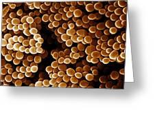 Staphylococcus Aureus, Sem Greeting Card
