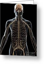 The Nerves Of The Upper Body Greeting Card