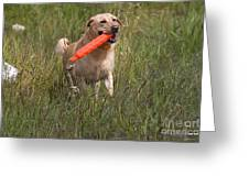 Yellow Labrador Greeting Card by Linda Freshwaters Arndt