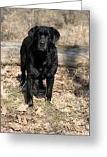Black Labrador Retriever Greeting Card by Linda Freshwaters Arndt