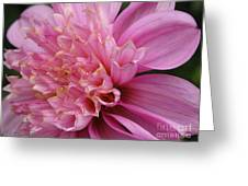 Dahlia Named Siemen Doorenbosch Greeting Card