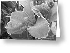 Dwarf Canna Lily Named Corsica Greeting Card