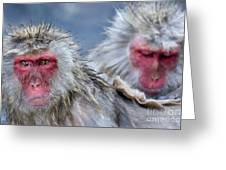 Japanese Macaques Greeting Card