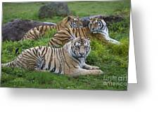 Siberian Tigers, China Greeting Card
