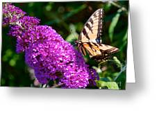 Yellow Tiger Swallowtail Papilio Glaucus Butterfly  Greeting Card