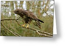 Buse Variable Buteo Buteo Greeting Card