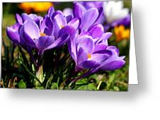 Crocus Greeting Card