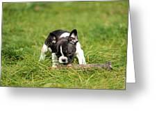 French Bulldoggs Greeting Card