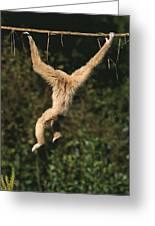 Gibbon A Mains Blanches Hylobates Lar Greeting Card
