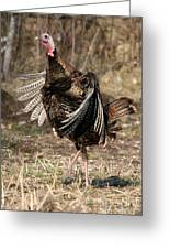 Jake Eastern Wild Turkey Greeting Card by Linda Freshwaters Arndt