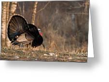 Male Eastern Wild Turkey Greeting Card