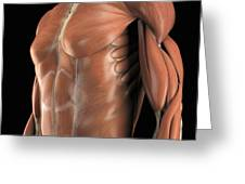 Muscles Of The Upper Body Greeting Card