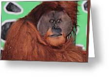Portrait Of A Large Male Orangutan Greeting Card