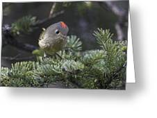 Rubycrowned Kinglet Greeting Card