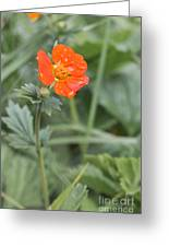 Scarlet Avens Orange Wild Flower Greeting Card