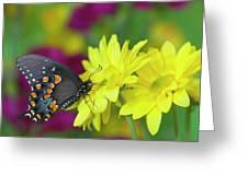Spicebush Swallowtail, Papilio Troilus Greeting Card
