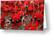 Sturt's Desert Pea Outback South Australia Greeting Card