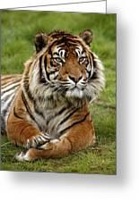 Tigre De Sumatra Panthera Tigris Greeting Card