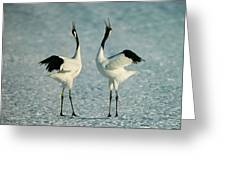 A Pair Of Japanese Or Red Crowned Greeting Card