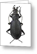 Ground Beetle Greeting Card