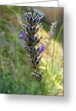 Lavender 6 Greeting Card