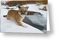 Mountain Lions In The Western Mountains Greeting Card