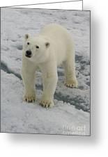Polar Bear Crossing Ice Floe Greeting Card