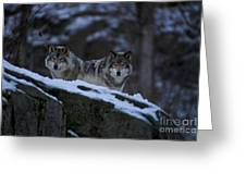 Timber Wolf Pictures Greeting Card by Wolves Only