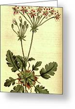 Botanical Print By Sydenham Teast Edwards 1768 – 1819 Greeting Card