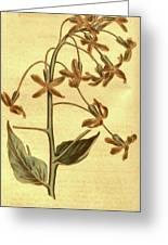 Botanical Print By Sydenham Teast Edwards 1768 – 1819 Greeting Card