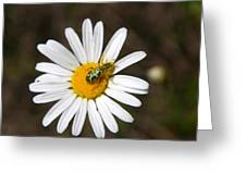 A Beattle On A Daisy Greeting Card