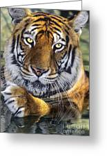 A Bengal Tiger Portrait Endangered Species Wildlife Rescue Greeting Card
