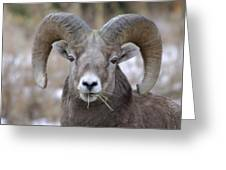 A Big Ram Caught With His Mouth Full Greeting Card