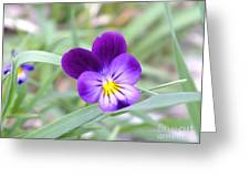 A Blue Pansy Greeting Card