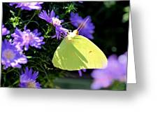 A Clouded Sulphur On Lavender Mums Greeting Card