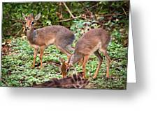 A Couple Of Dik-dik Antelopes In Tanzania. Africa Greeting Card