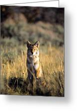 A Coyote Canis Latrans Stares Greeting Card